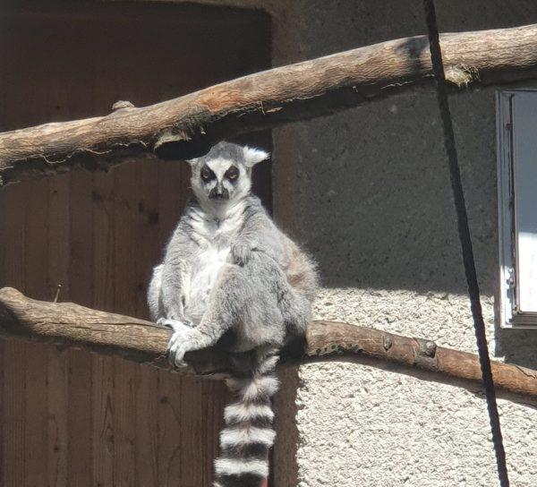 lemur zoo kosice